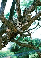 Africa, Namibia, leopard lying on tree branches