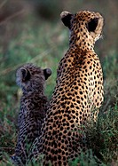 Africa, Tanzania, young cheetah and adult cheetah, rear view