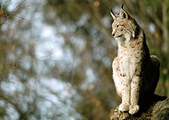 Europe, Germany, lynx sitting