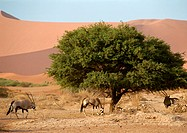 Africa, Namibia, gemsboks grazing