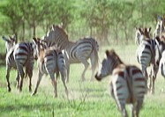 Africa, Tanzania, herd of zebras galloping