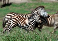 Zebras galloping on grassy plain, side view
