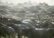 Africa, Tanzania, herd of wildebeests and zebras