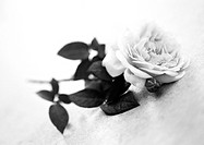 Rose, b&amp;w