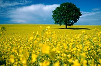 Rape field (Brassica napus) and oak. Germany