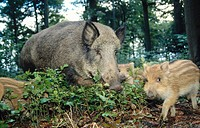 Wild Boars (Sus scrofa). Sow and piglets. Germany