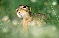 European Ground Squirrel (Citellus citellus). Neusiedl Lake. Austria