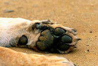 Lioness paw, Kruger National Park, Mpumalanga, South Africa