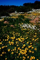 Namaqualand daisies, Northern Cape, South Africa