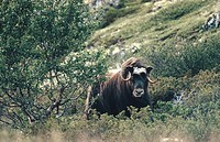 Female Muskox (Ovibos moschatus). Dovrefjell National Park. Norway
