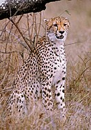 Cheetah (Acinonyx jubatus). Mala Mala Game Reserve. South Africa