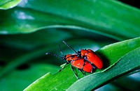 Lily Leaf Beetle (Lilioceris lili) mating