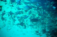 Shoal of tropical fish