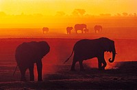 African Elephants at Sunset, Chobe National Park, Botswana, Africa