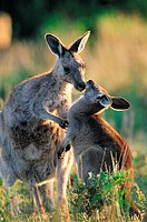 Eastern Grey Kangaroo (Macropus giganteus) Wilsons Promontory National Park, Australia