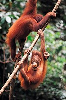 Orang-utans playing on vines (Pongo pygmaeus)