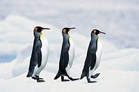 King Penguins walking in single file