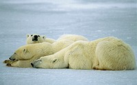 Polar bear (Ursus maritimus) sow and yearling cubs photographed on lake near Cape Churchill, Canadian Arctic