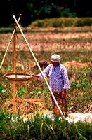 Woman winnowing padi, Kedah, Malaysia