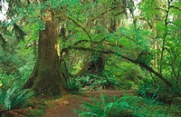 Dense forest. Spruce trail. Hoh Rain Forest. Olympic National Park. Washington. USA