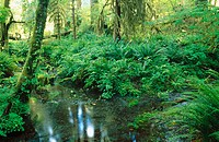 Stream running through the Hoh Rain Forest. Spruce Trail. Olympic National Park. Washington. USA