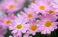 Comet pink (Argyranthemum frutescens), Southern Oregon Coast, USA