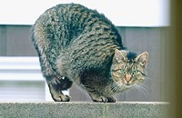 Gray tabby cat crouched on wall. Southern Oregon Coast. USA