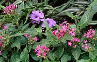 Pink egyptian star cluster (Pentas lanceolata) and blue-flowered ruellia (Ruellia sp.)