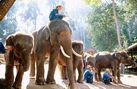 Elephants. Chiang Mai. Thailand
