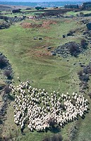 Flock of sheep near Medinacelli. Soria. Castilla y Leon. Spain