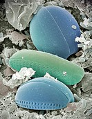 Diatom   algae.    Coloured   scanning   electron micrograph  (SEM) of two types of diatom.  Diatoms are  a  distinct  group  of  single-celled   alga...