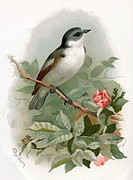 Pied flycatcher.  Historical  artwork  of  a  pied flycatcher (Ficedula  hypoleuca).  This small bird is a migrant,  spending  the  winter  in  northe...