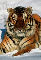 Siberian tiger. View of a Siberian tiger (Panthera tigris altaica) lying in snow. Siberian tigers are the largest members of the cat family,   reachin...