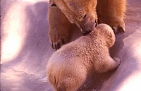 animal, animals, bear, dam, ice, mother, new, polar bear, Thalarctos, Ursus maritimus, young, young animal