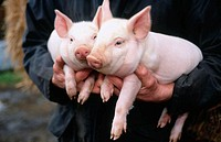 Farmer with 3 week old piglets. Berks, UK