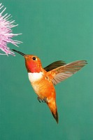 Rufous hummingbird (Selasphorus rufus), male