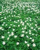 Wood anemone. (lat. Anemone nemorosa). Sweden.