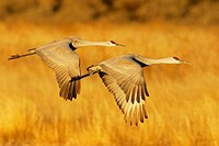 Sandhill Crane (Grus canadensis)