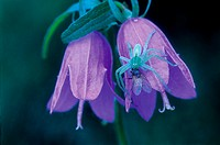 Two Purple Bellflowers