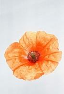 One Orange Poppy