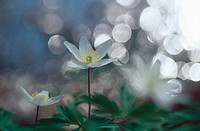 Three White Wood Anemones