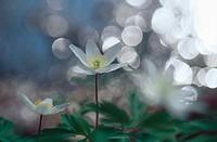 Three White Wood Anemones