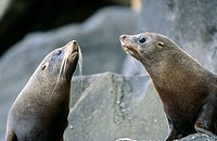 New Zealand Fur Seals (Arctocephalus forsteri) resting on rocks. Campbell Island, New Zeland