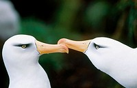 Black-browed Albatross (Diomedea melanophrys impavida). Courtship dance. Cambell Island, New Zeland