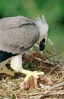 Harpy Eagle (Harpia Harpyja) with prey. Ese'eja Native Land. Peruvian Amazon