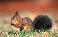 Red Squirrel (Sciurus vulgaris). Germany