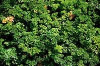 botany, parsley, Petroselinum crispum, Umbelliferae, Apiaceae, Rosidae, Apiales, spice, spices,