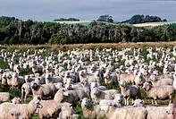 Geo., Neuseeland,  Schafherde auf der Weide,  bei Invercargill, Südinsel,