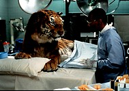 Film, ´Dr. Dolittle´, USA 1998, Regie: Betty Thomas, Szene mit: Eddie Murphy,   tierarzt, tiger auf operationstisch liegend, op operationssaal, doktor...