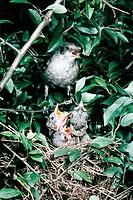 Zoologie, Vögel, Klappergrasmücke  (Sylvia curruca) auf Zweig sitzend, drei Jungvögel im Nest Verbreitung: Nordwesteuropa bis Ostsibirien junge vogel ...